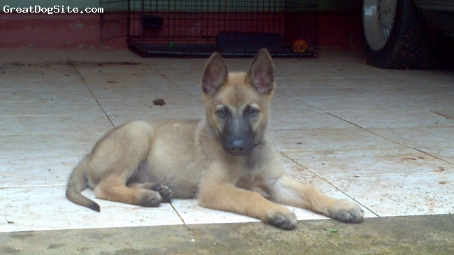 A photo of a 8 weeks old, fawn, Belgian Malinois - Belgian ...