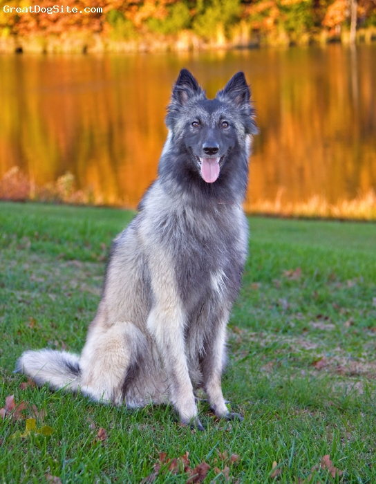 Belgian Tervuren, 2 years, Gray, Photo by Rod Prouty