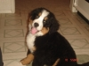 Bernese Mountain Dog, 16weeks, Black Tan White