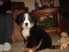 Bernese Mountain Dog, 12 weeks, Tri Color