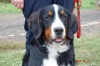 Bernese Mountain Dog, 8 months, tri-coloured Black-Brown-White