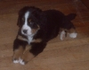 Bernese Mountain Dog, 10 weeks, tri color
