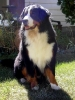 Bernese Mountain Dog, 4.5 years, tricolor