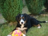 Bernese Mountain Dog, 4mnths, tri