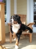 Bernese Mountain Dog, 4, tricolor