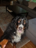 Bernese Mountain Dog, 4, black/brown/white