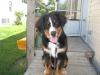 Bernese Mountain Dog, 6 months, tri