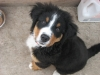 Bernese Mountain Dog, 4 months, tri