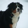 Bernese Mountain Dog, 3 years, Tri