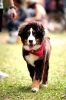 Bernese Mountain Dog, 4 months, Black, white, beige