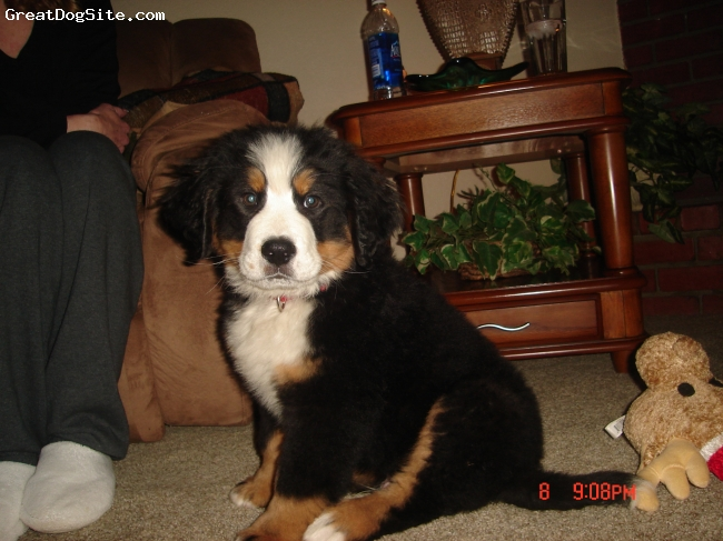 Bernese Mountain Dog, 12 weeks, Tri Color, sweetest little guy