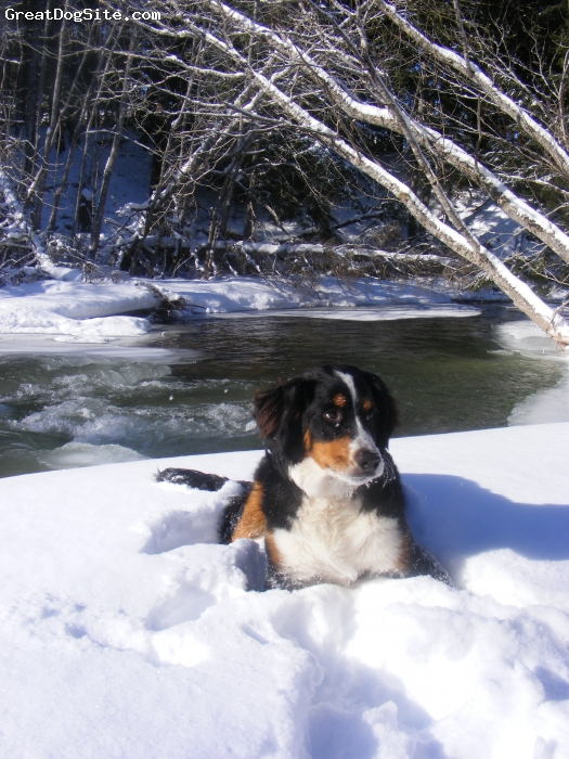 Bernese Mountain Dog, 1 yr, Tri color, fun loving,hillarious...and just plain georgeous!! ohh and full of it!!xoxo