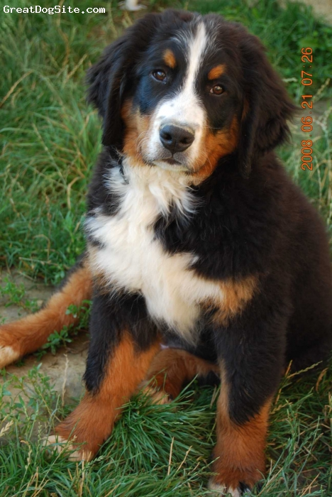 Bernese Mountain Dog, 8 months, tri-coloured Black-Brown-White, I don't mind at all
