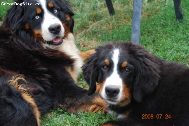 Bernese Mountain Dog, 3years/8moths, tricolor, Angels At My Gate