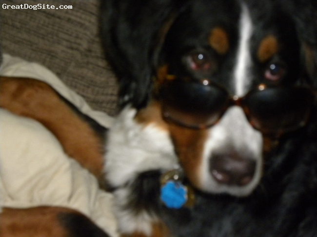 Bernese Mountain Dog, 8 months, black/white/rust, =)