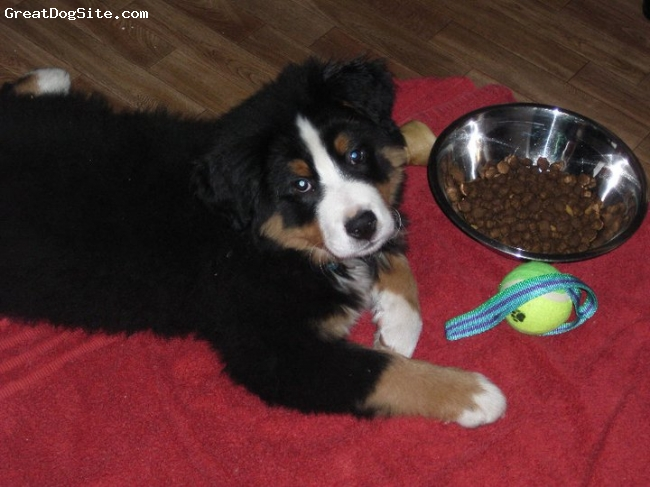Bernese Mountain Dog, 12 weeks, Tri, He's the most docile, adorable, lovey puppy anyone could ever ask for!