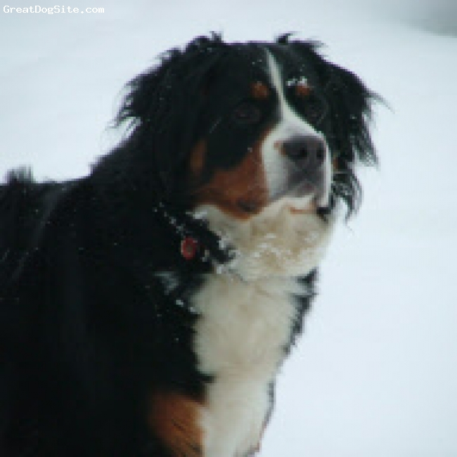 Bernese Mountain Dog, 3 years, Tri, Bernese Mountain Dogs love to play in the snow. This photo was taken a year ago when we had lots of the lovely white stuff.