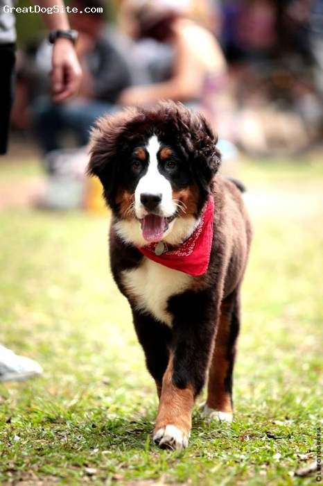 Bernese Mountain Dog, 4 months, Black, white, beige, Sid walking in the park