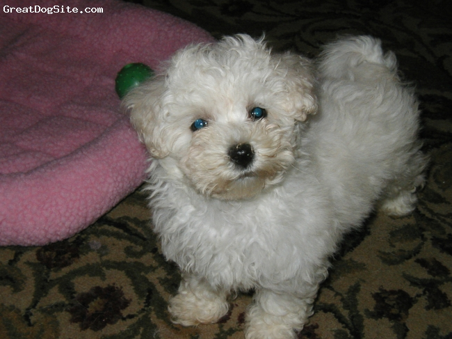 Bich Poo, 10 weeks, white, bichpoo  mother is bichon frise and father miniature poodle