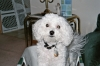 Bichon Frise, 5 yrs, White
