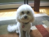 Bichon Frise, 3 and a half, White