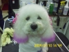 Bichon Frise, unknown, white