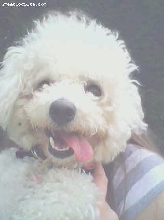 Bichon Frise, 19 months, white, looking scruffy