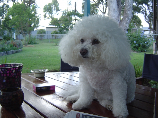 Bichon Frise, 8, white, Looking cute !