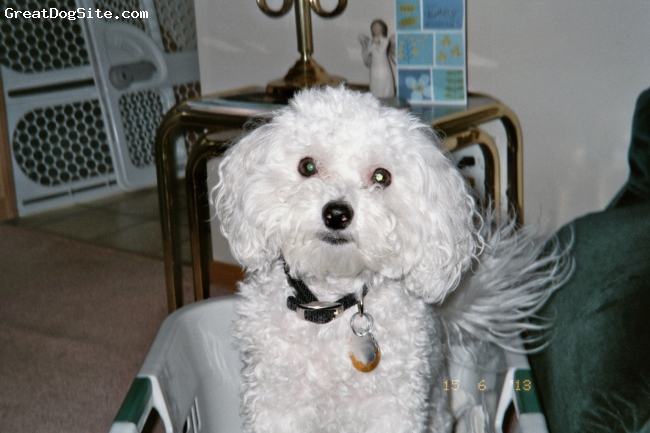 Bichon Frise, 5 yrs, White, This is my adorable bichon frise named Buffy. She is pure white,