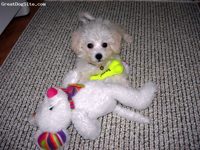 Bichon Frise, 3  months, White, Pearl Rose was born on January 25, 2009.  She is currently working as my service dog to prevent migraines and other neurological episodes.