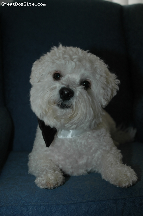 Bichon Frise, 5, White, My baby boy is sooo spoiled.  He likes cheese cubes but sharp please!