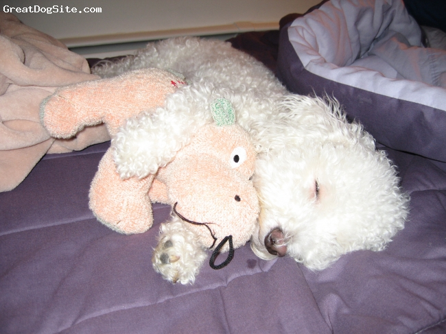 Bichon Frise, 7, white, Chloe snuggling with Hippo.
