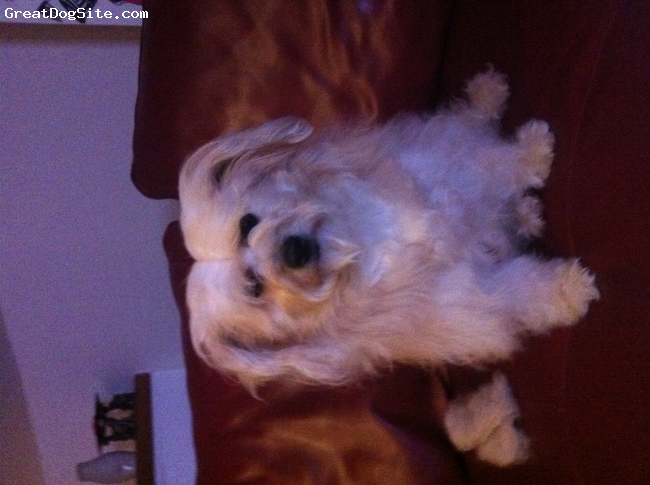 Bichon-A-Ranian, 2yrs, Cream and white, Sporting a very funny comb job!