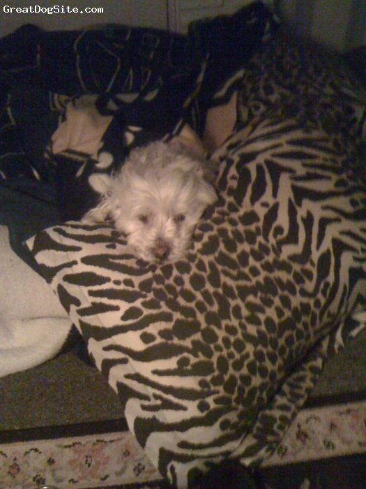 Bichon-A-Ranian, 10, w, jack is a wonderful dog. he has a great peronality, very lovable loves attenion