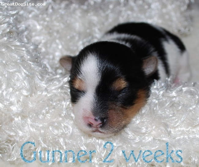 Biewer, 1 1/2 weeks, Biewer, Gunner of Almost Heaven Biewers