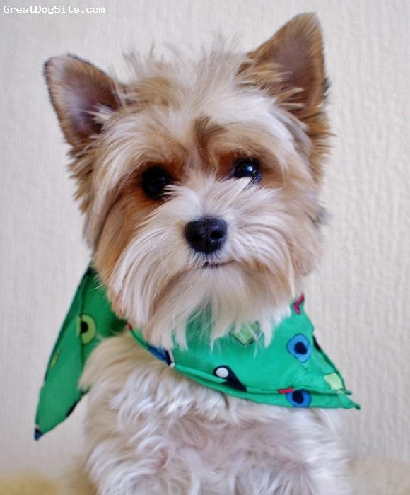 Biewer, 1 year, Tricolor,