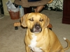 Black Mouth Cur, 2, Tan/Black/White