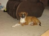 Black Mouth Cur, 5 mths, brown and white