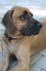 Black Mouth Cur, 3 years Old, Red