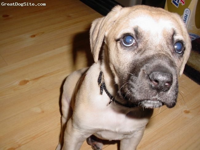 Black Mouth Cur, 7 weeks, Sandy Yellow/Black Mask,