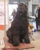 Black Russian Terrier, 2 y.o., black