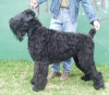 Black Russian Terrier, 3years old, black