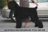 Black Russian Terrier, 2.5 years, black