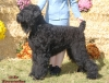 Black Russian Terrier, 2.5 y.o., black