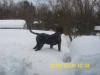 Black Russian Terrier, 1 years old, pitch black