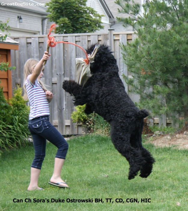 ... , Black Russian Terrier - Duke adores kids and ... | GreatDogSite.com