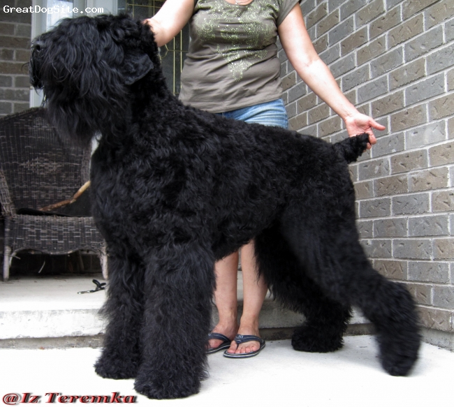 Black Russian Terrier, 3y. and half, black, Excellent quality young male with tones of spirit! Outstanding disposition!