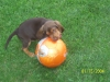 Bloodhound, 6weeks and 2days, liver and tan