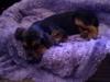 Bloodhound, 12 WEEKS, BLACK/BROWN