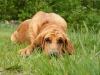 Bloodhound, 8 months, Red